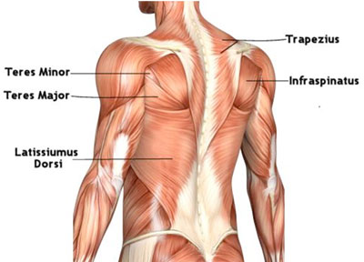 illustration of back muscles